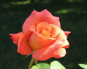 peach orange rose